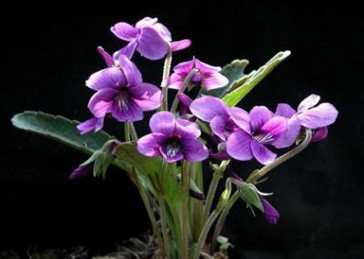 Ramito de violetas
